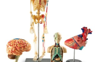 Bundle Set of Human Anatomy Models