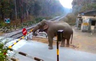 Elephant Carefully Lifts a Railway Barrier