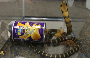 Reptile Smuggling – Man Arrested for Smuggling King Cobras In Potato Chips Can