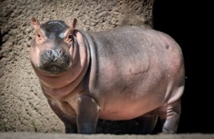Baby Hippo Playing With Her Mum is Adorable
