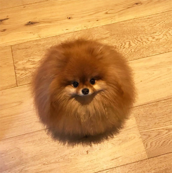 Pomeranian melted in water