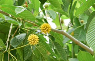 Kratom for Anxiety – Which Kratom Strain is Best?