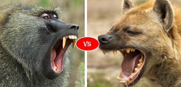 Hyena vs Baboon