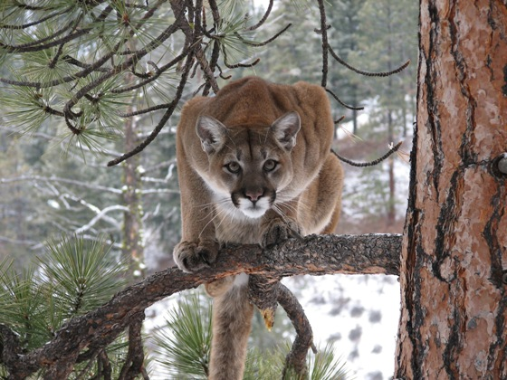 Roars of the Mountain Lion