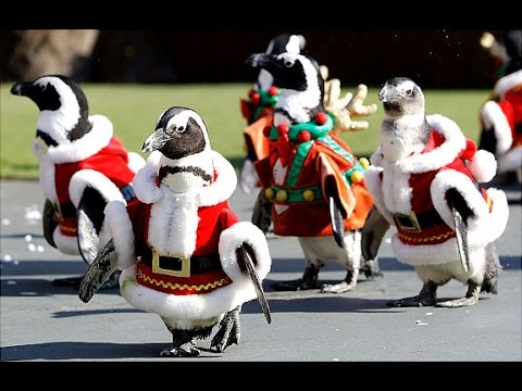 Penguins Dressed as Santa Claus at Japanese Zoo Celebrate the Holiday Season