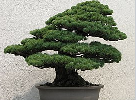 Bonsai Trees: Know Why They Are Good For Health And Learn To Take Care Of Them