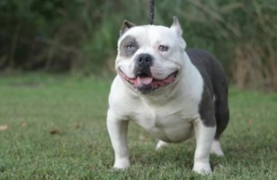 Teacup pitbull: All you need to know about mini Pitbull breed