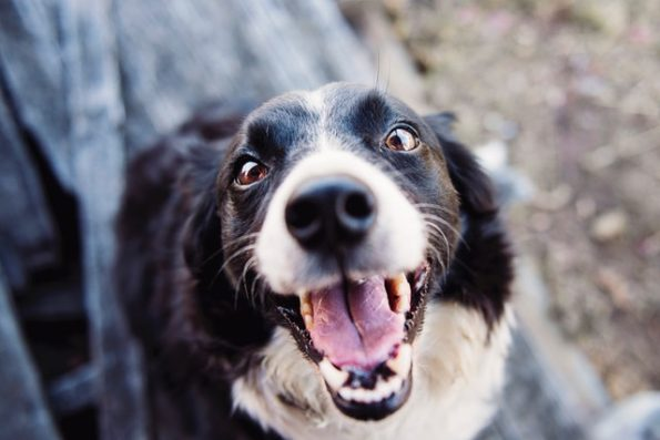 The Benefits of CBD Oil for Dogs