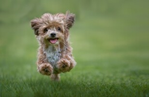 Hypoallergenic Friendly Dog Breeds