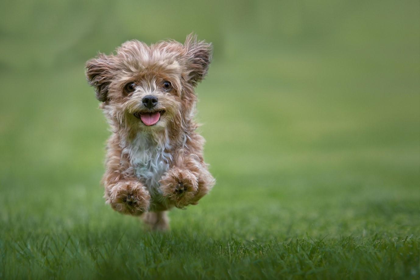 Hypoallergenic Friendly Dog Breeds