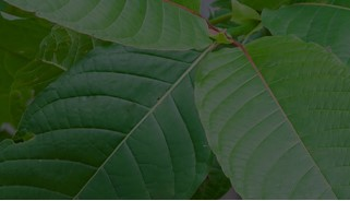 A Beginners Red Bali Kratom Strain Guide