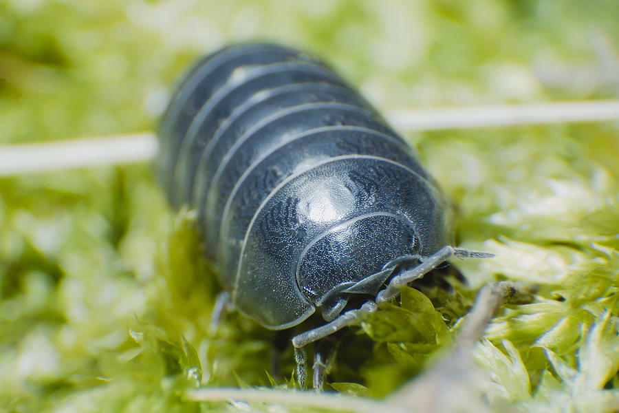 How to Deal with Pill Bugs in Your Home & Garden