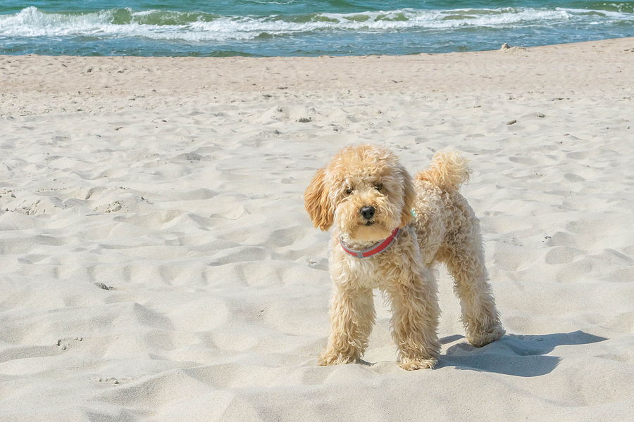 Let's Get to Know More About Our Favorite Goldendoodle