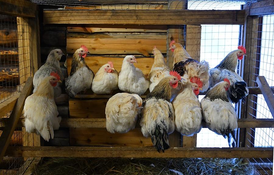 Beginners Guide To Raising Backyard Chickens