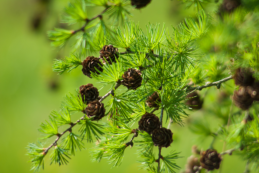 Pine Pollen: A Natural Remedy for Hormonal Problems