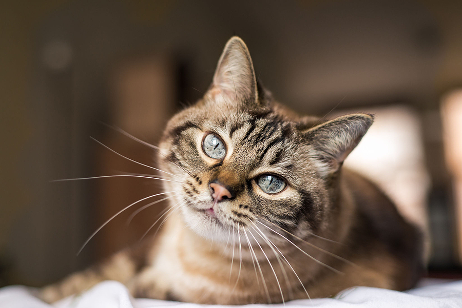 Cat Hyperthyroidism – Signs, Diagnosis, and Treatment