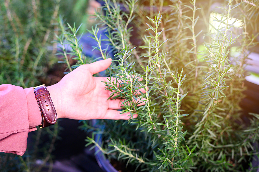 ABC's of Rosemary: A Complete Guide To Its Cultivation and Benefits
