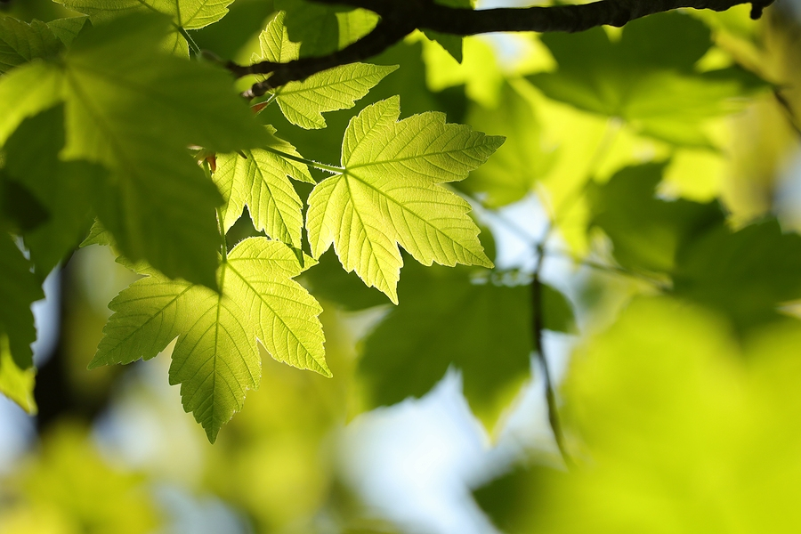The Best Trees to Plant in St Louis MO