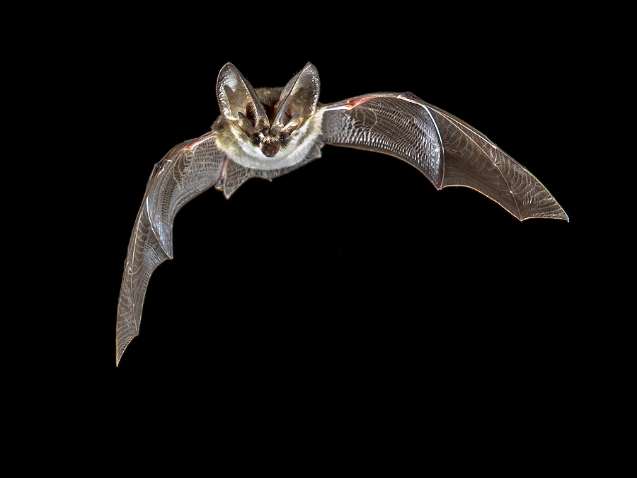Best Ways to Get Rid of Bats from Your Home in Pearl, MS