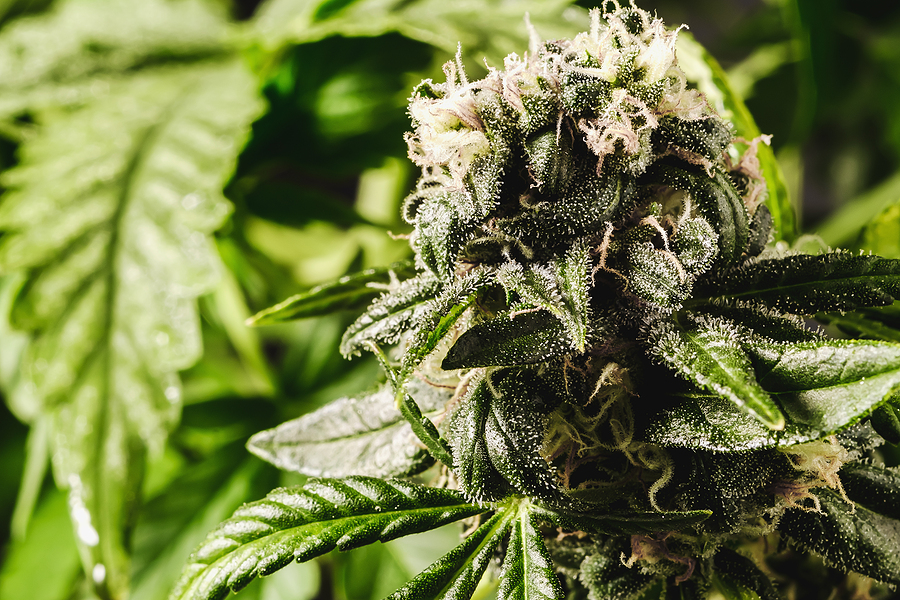 Advantages of Buying Weed from Online Dispensaries