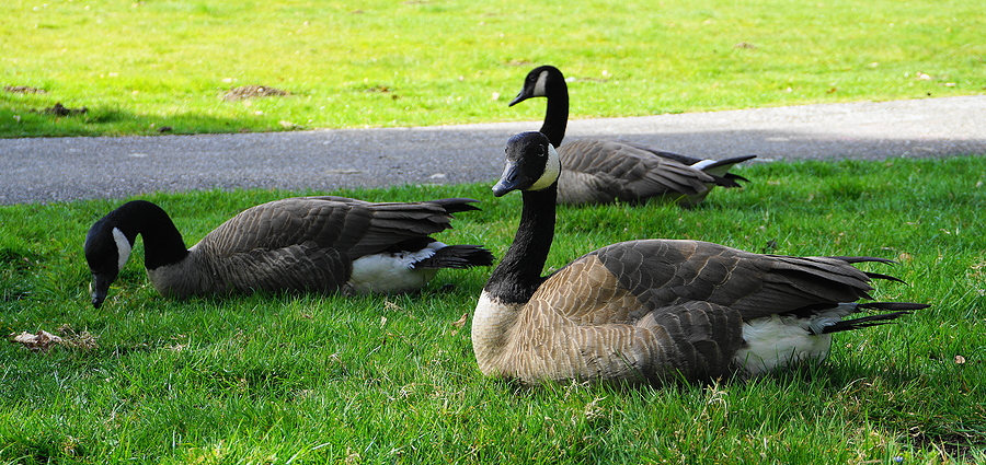 Expert Tips to Get Rid of Geese on Your Property