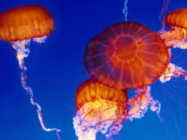 Sit Back, Relax And Watch This Live Jellyfish Cam Footage