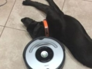 A Ridiculously Lazy Dog Vs. A Roomba: Who Will Win?
