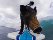 Meet Kama The Surfing Piglet