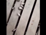 Raccoon Hands Creeping Out From Beneath The Porch...