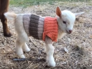 Triplet Baby Goats Wearing Sweaters Is The Cutest Thing Ever