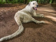 Meet Keon, The Dog With The Longest Tail In The World