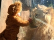 Watch A Little Baby Dressed Like A Lion Meet A Real Lion