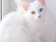 Twin Cats With Heterochromatic Eyes & More Incredible Links