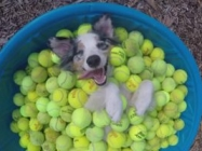Just A Happy Dog In A Kiddie Pool Filled With Tennis Balls
