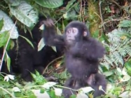 A Baby Gorilla Tries To Beat His Chest, But Fails Adorably