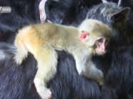 A Baby Monkey Makes Friends With A Goat And It's Cute AF