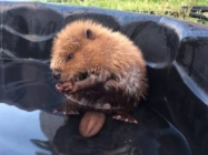 Turns Out, This Baby Beaver Is The Cutest Thing Ever