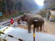 Elephant Carefully Lifts a Railway Barrier