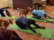 Goat Yoga Is The Best Kind Of Yoga There Ever Was