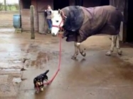 A Little Wiener Dog Leads A Horse And It's Just Adorable