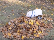 Watch This Pet Pig Jump In A Leaf Pile And TRY Not To Smile