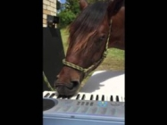 Just A Horse Playing Piano With His Lips, NBD