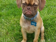We All Know Grumpy Cat... Now Meet Earl The Grumpy Puppy